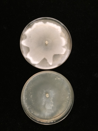 Mortierella elongata with and without endosymbionts