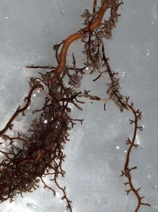 Pinus roots colonized by Suillus showing characteristic bi-furcate morphology