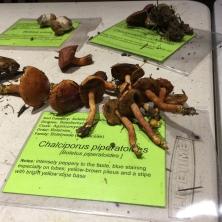 Chalciporus http://www.mushroomexpert.com/chalciporus_piperatus.html