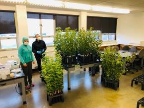 OSU mycologists inoculate Tan Oaks with Phytophthora January 2020